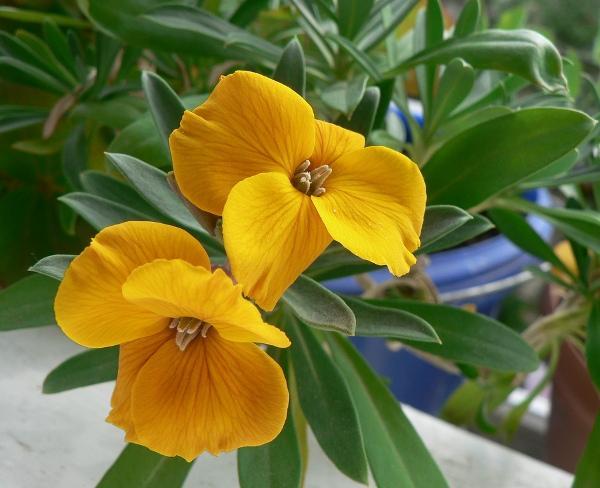 лакфиоль цветок
