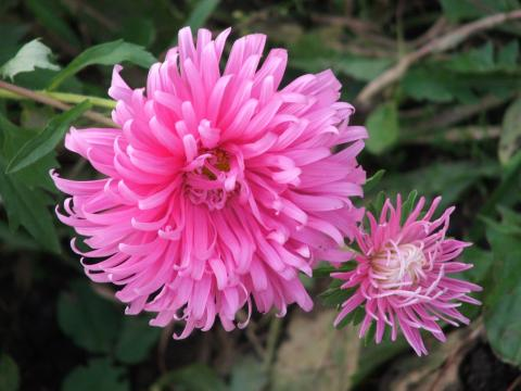 Уход за садовой хризантемой