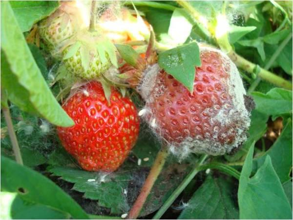 Спасаем урожай клубники от серой гнили