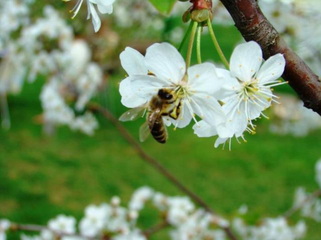 Без пчел и сад не сад