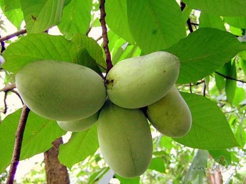 азимина выращивание