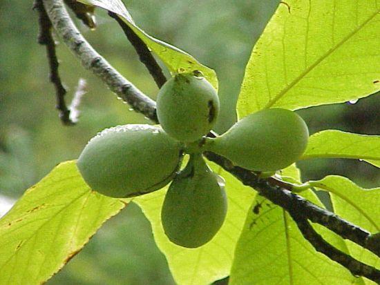 азимина дерево