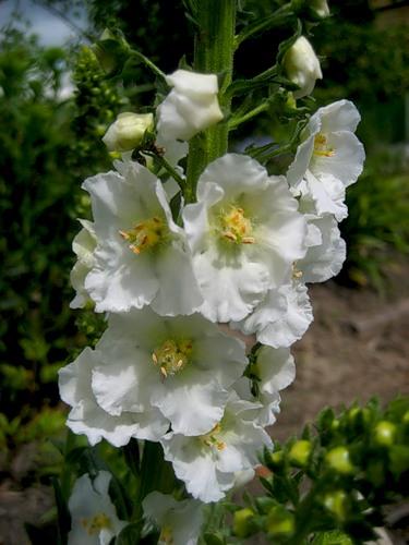 цветок вербаскум