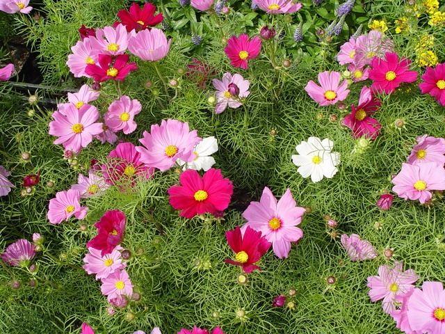 пышное цветение космеи