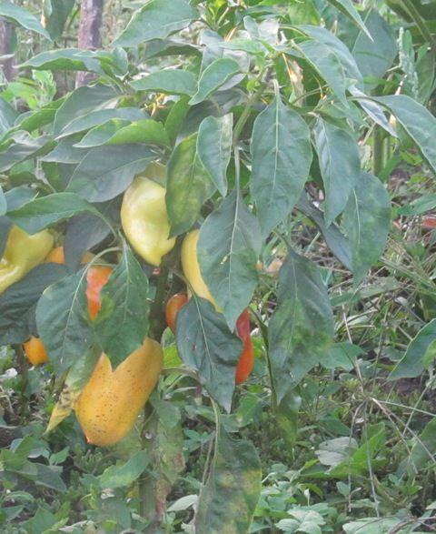 Выращивание болгарского перца домашних условиях 792