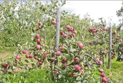 яблоня на клоновом подвое