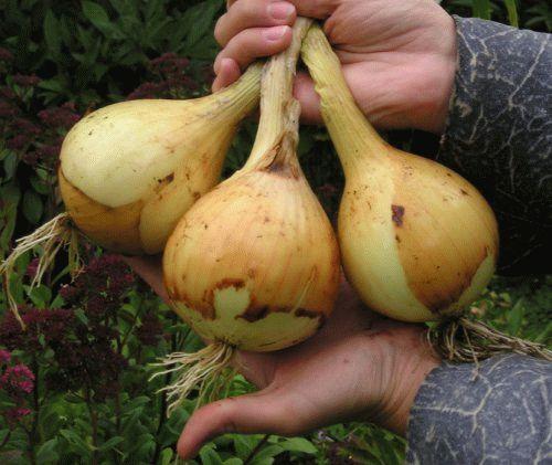 Как вырастить большой урожай лука