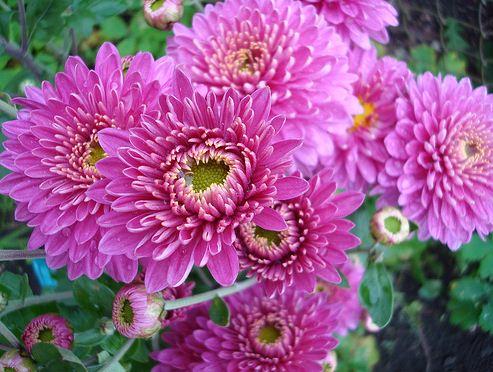 Выращивание и уход за хризантемой