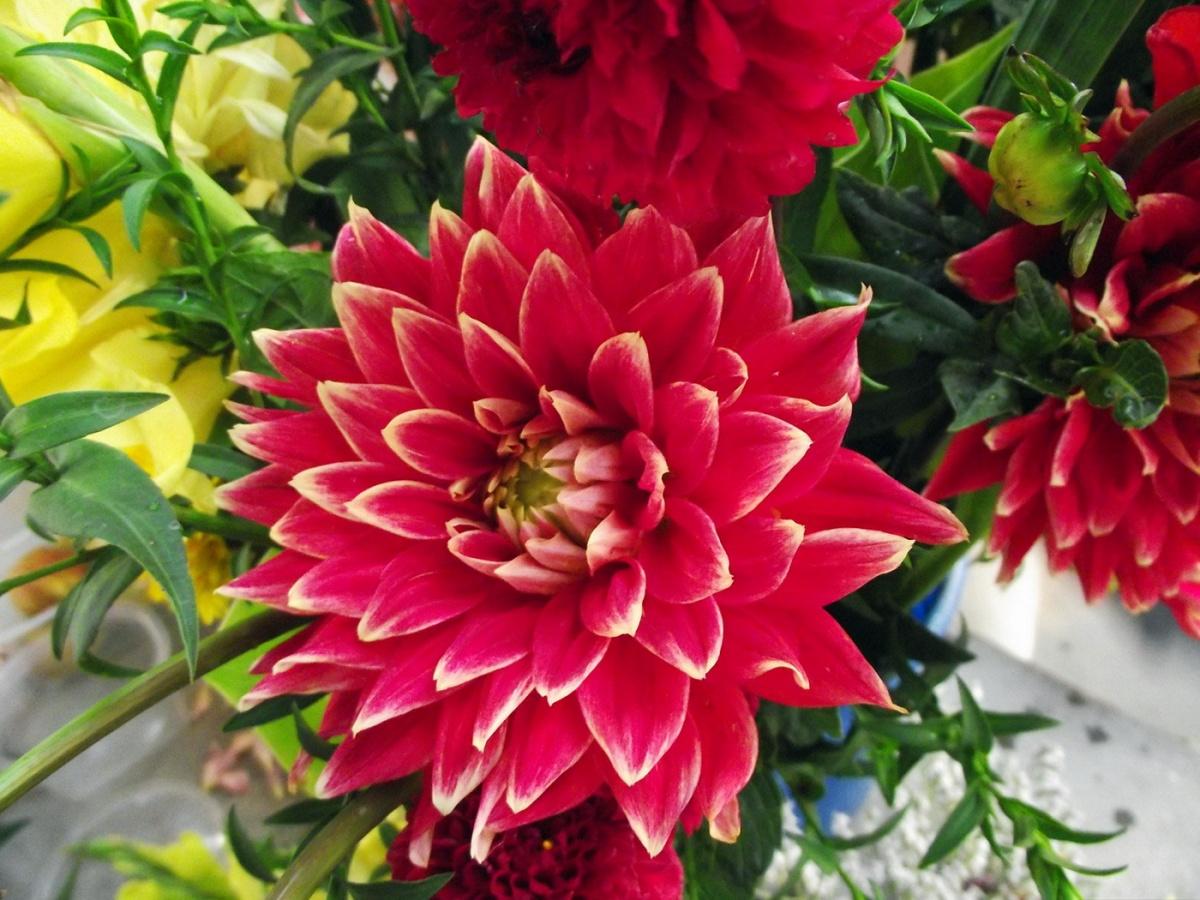 Цветы георгины