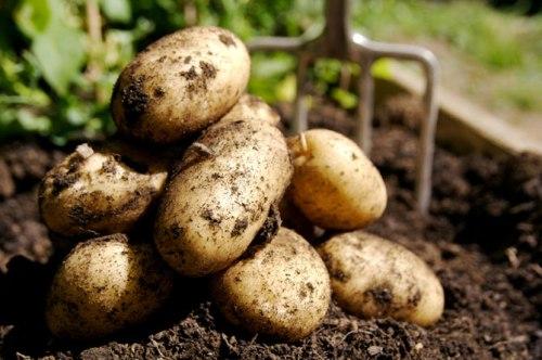 в каких микроэлементах нуждается картофель