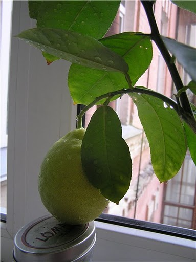 лимон Иркутский крупноплодный