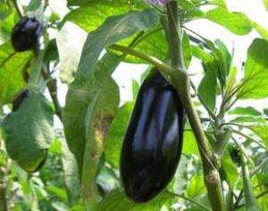 Ошибки при выращивании баклажан