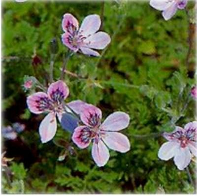 Аистник дубровниковидный (Erodium reichardii)
