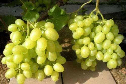 Аркадия сорт винограда