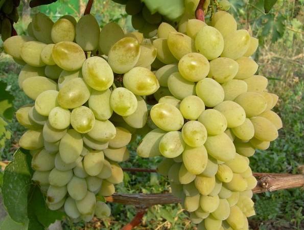 Тимур сорт винограда