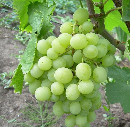 Восторг сорт винограда