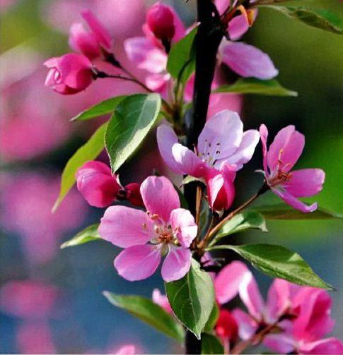 Яблоня гибридная (Malus х hybrida)