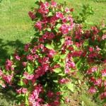 Цветок вейгела в саду