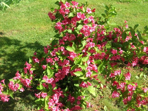 вейгела в саду