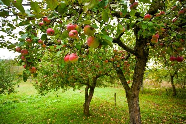 Как сохранить плодовый сад