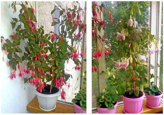 Цветок эльфов - фуксия