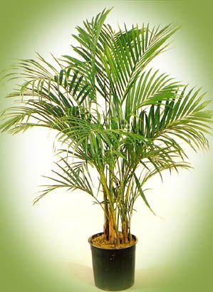 пальма ховея кентия