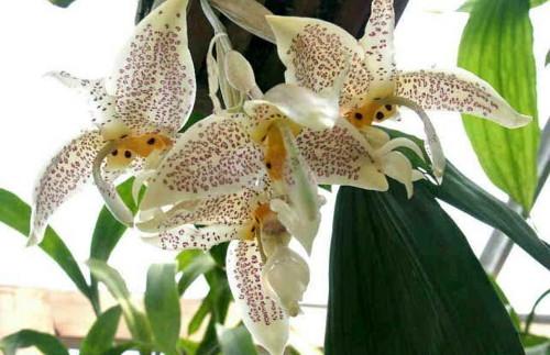 Стангопея - коллекционная орхидея
