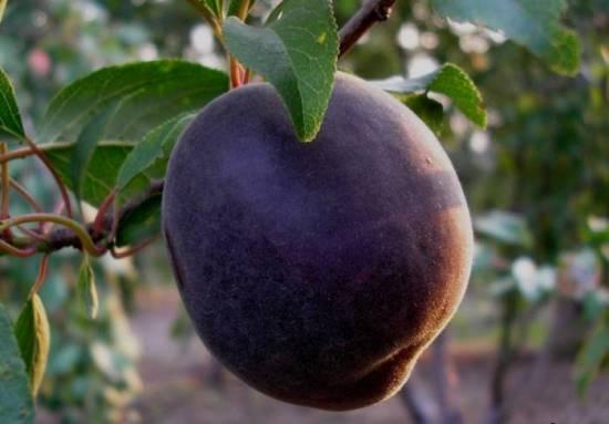 правила выращивания черного абрикоса