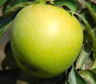 сорт яблок  «Гренни Смит»
