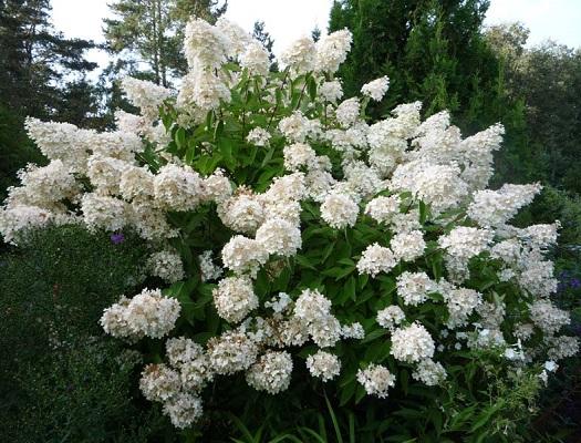 Куст, украшенный метелками — гортензия метельчатая