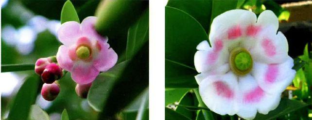 Клузия розовая