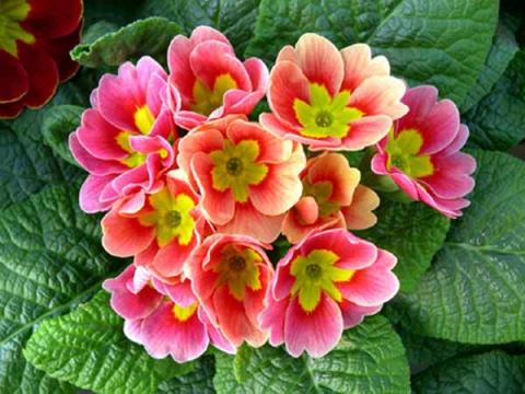цветы весенние примула