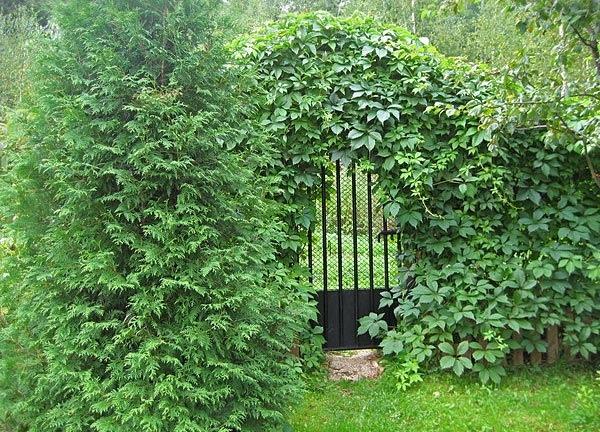 Как украсить забор зеленью