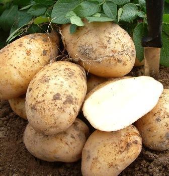 картофель сорта Золушка