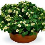 Экзакум — цветок на цветке