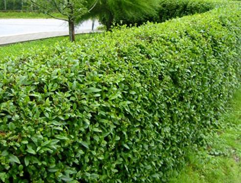 Кизильник образует зеленую изгородь