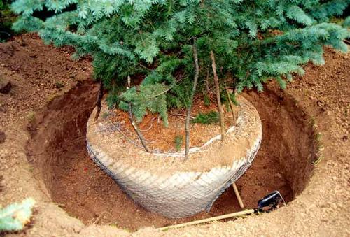 Посадка крупномерных деревьев — некоторые нюансы и рекомендации