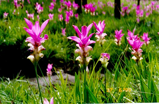 Сиамский тюльпан фото