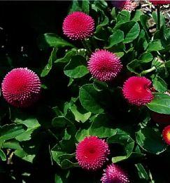 Цветок маргаритка многолетняя