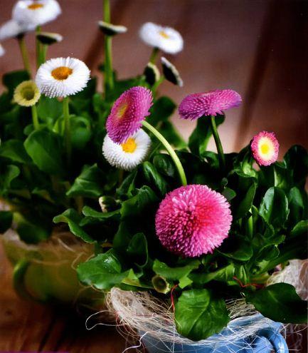 Цветы маргаритка многолетняя