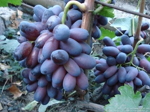 Виноград выращивание и уход в августе 8