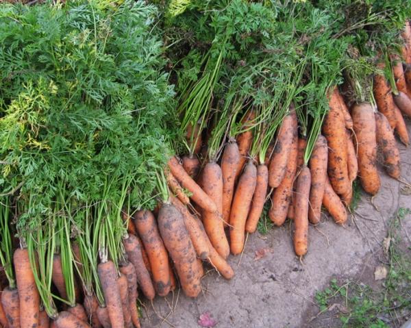 Морковь зимует на грядке?