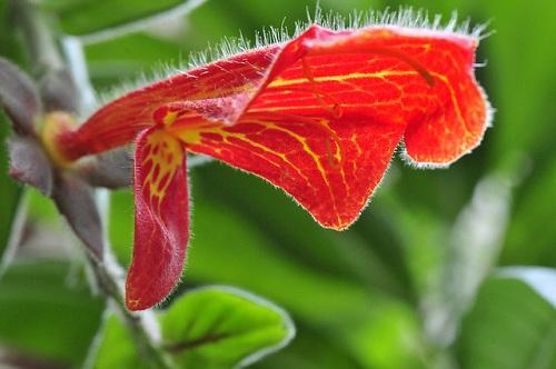 цветок колумнея фото