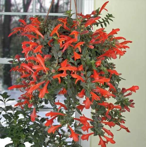 колумнея цветы