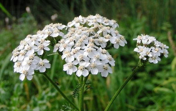 Тысячелистник (Achillea Millefolium)