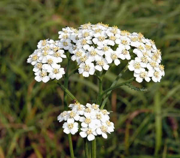 кровавник, живучая или солдатская трава, порез-трава