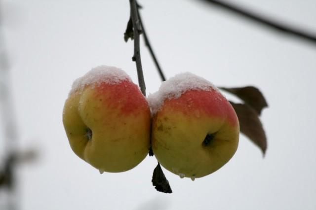 Чтобы яблони не мерзли