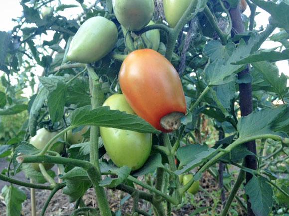 Чем лечить заболевшие помидоры