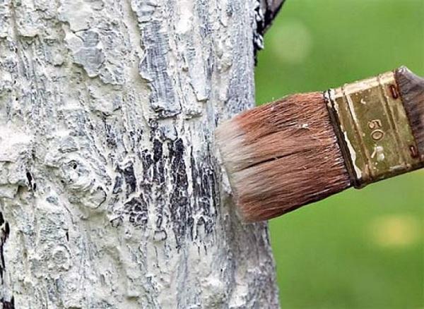 Предзимняя побелка деревьев