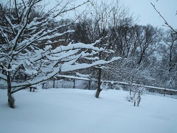 Снежный покров защитит деревья